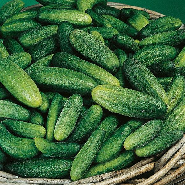 Cucumber Gherkin Cornichon De Paris Seeds From Mr