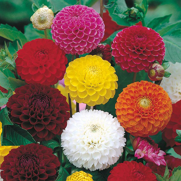 how to cut dahlia flowers