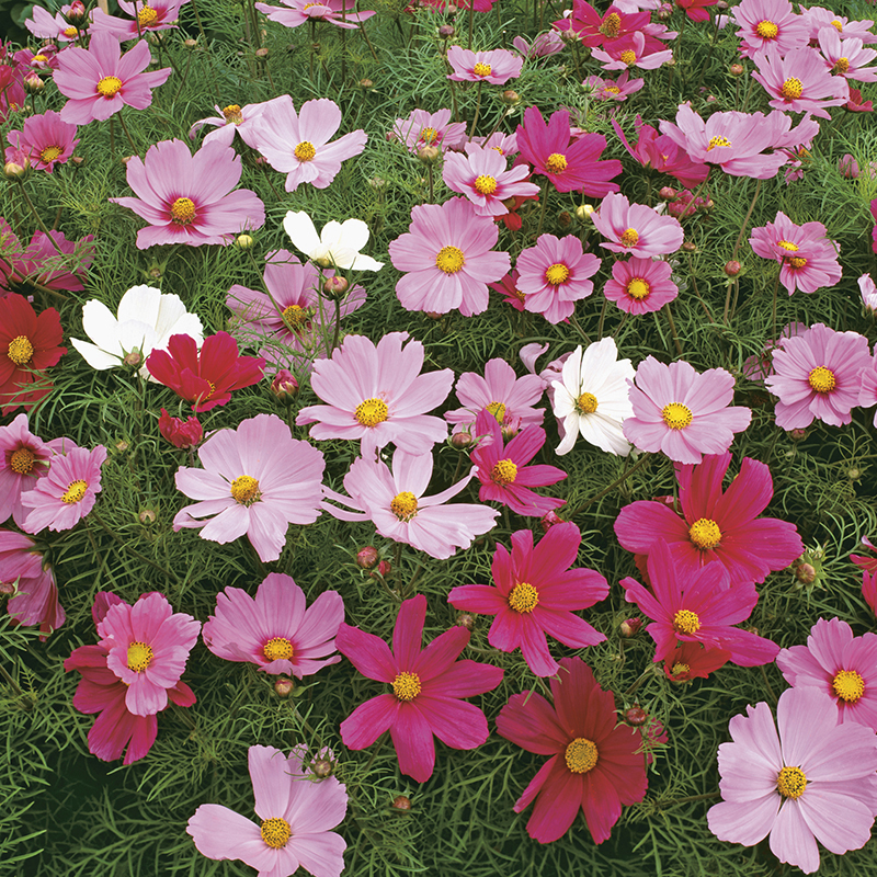 Cosmos Dwarf Sensation Mixed Seeds From Mr Fothergill S Seeds And Plants