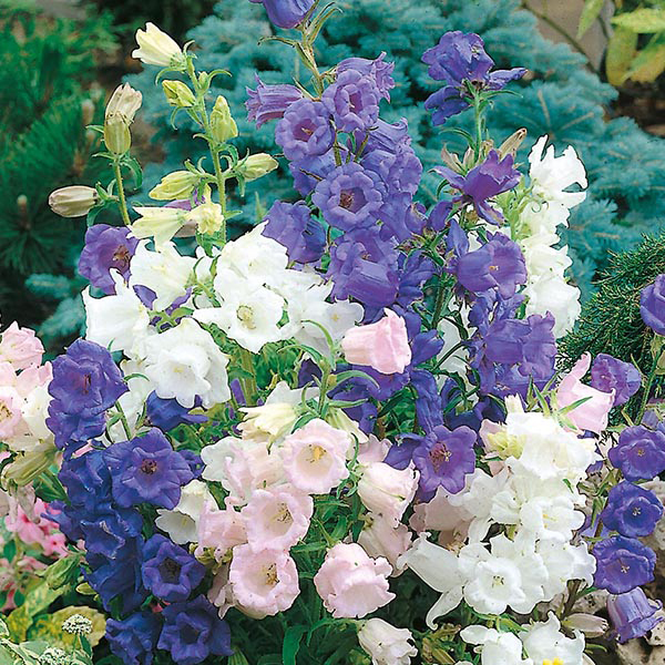 Canterbury Bells Cup Amp Saucer Mixed Seeds From Mr