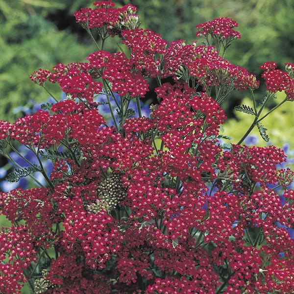 Achillea Cassis Seeds From Mr Fothergill S Seeds And Plants