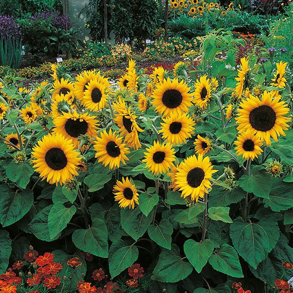 Sunflower Little Dorrit F1 Seeds From Mr Fothergill S
