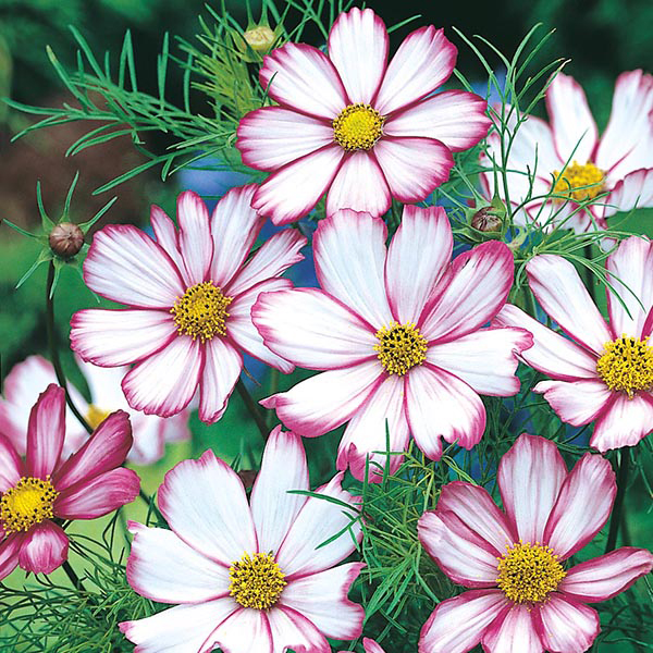 how to grow cosmos from seed uk