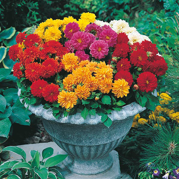 Dahlia Dwarf Double Mixed Seeds From Mr Fothergill S Seeds