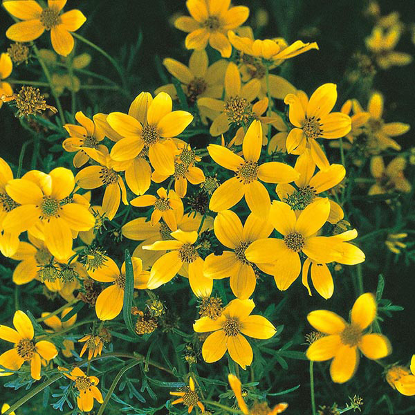Bidens Golden Goddess Seeds From Mr Fothergill's Seeds And