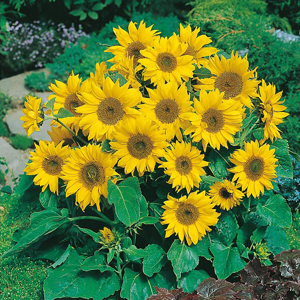 Sunflower Little Leo Seeds from Mr Fothergill's Seeds and ...