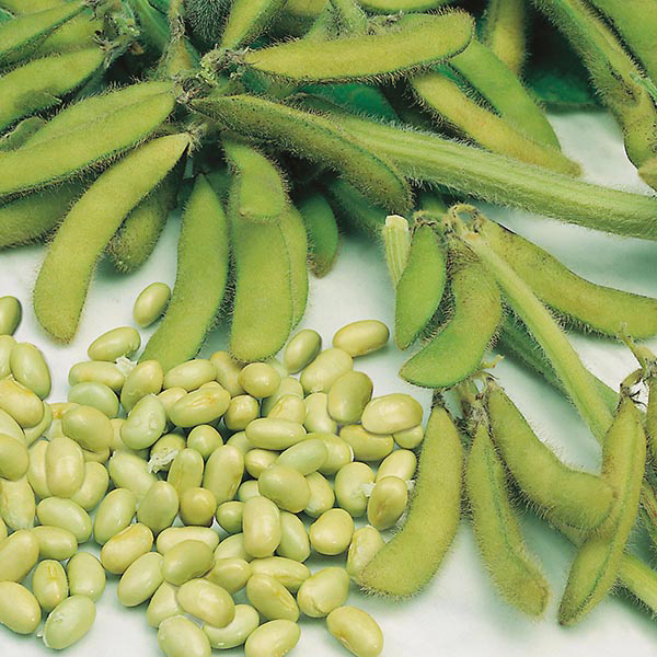 What To Plant In A Fall Vegetable Garden: Soya Beans Elena Seeds From Mr Fothergill's Seeds And Plants