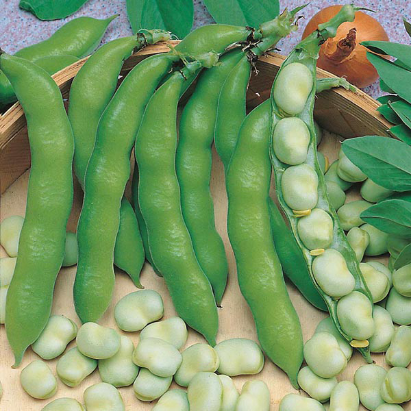 Broad Bean Suprifin Seeds from Mr Fothergill's Seeds and ...