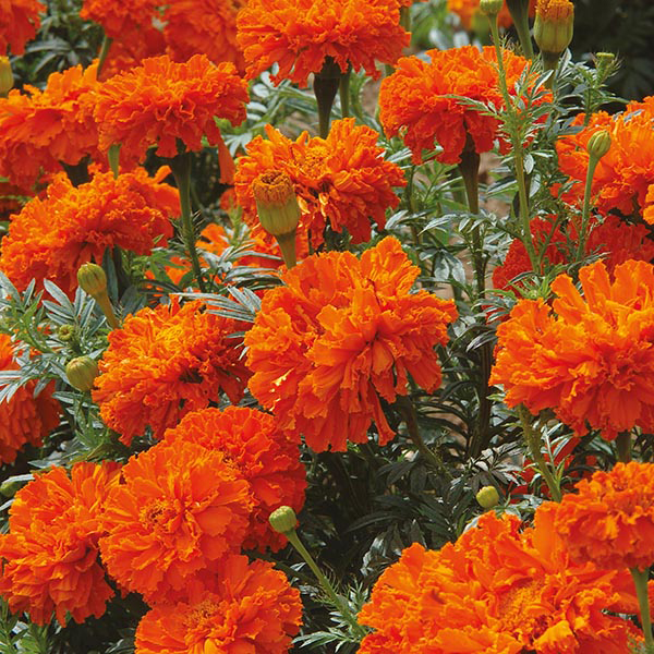 Marigold African Kees Orange Seeds From Mr Fothergill S