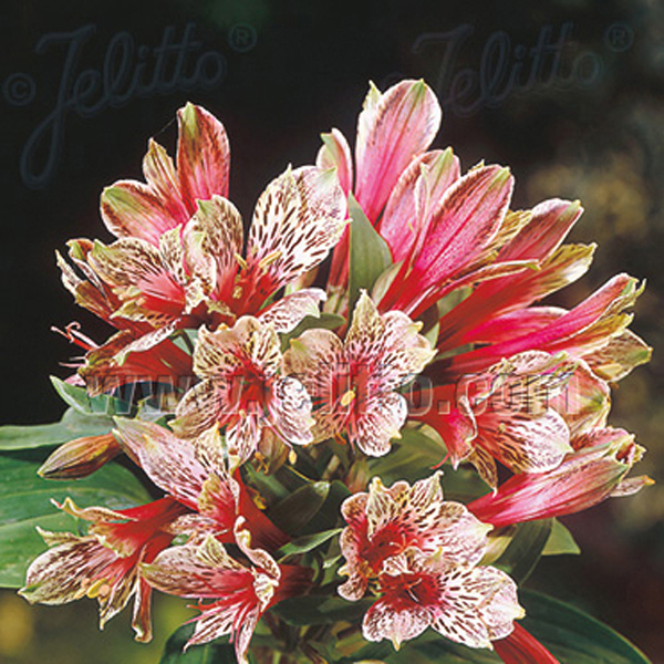 alstroemeria mona lisa seeds from mr fothergill 39 s seeds and plants. Black Bedroom Furniture Sets. Home Design Ideas