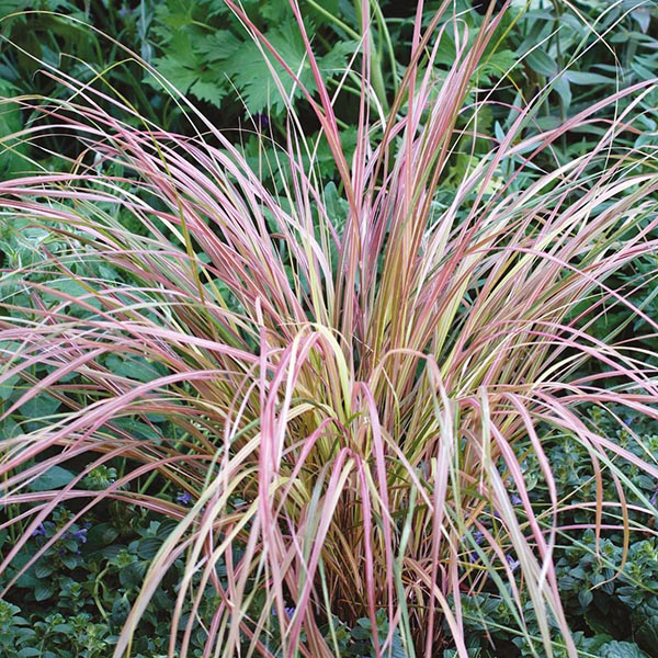 Grass stipa sirocco seeds from mr fothergill 39 s seeds and for Red perennial grass