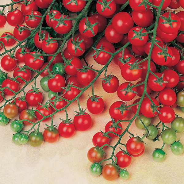 Get growing tomato cherry sweet million f1 seeds from mr for How to grow cherry tomatoes from seeds