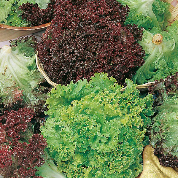 Get Growing Lettuce Salad Bowl - Red & Green Mixed Seeds ...