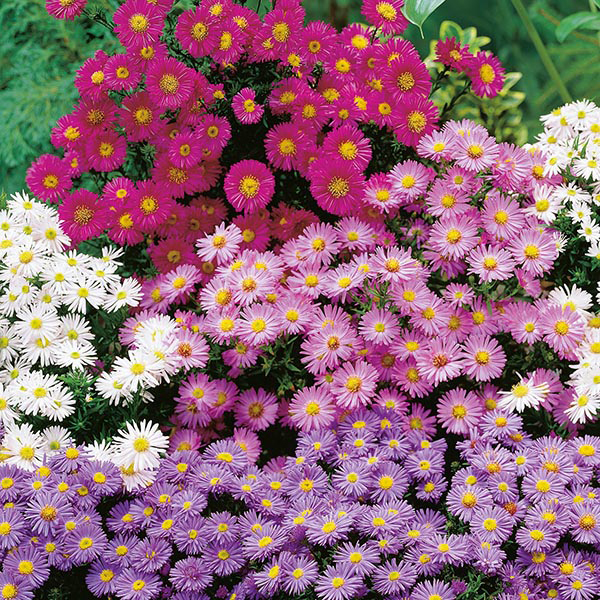 Michaelmas Daisy Mixed Seeds From Mr Fothergill S Seeds