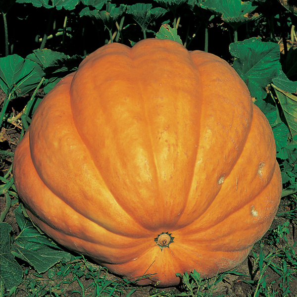 Pumpkin Atlantic Giant Seeds from Mr Fothergill's Seeds ...