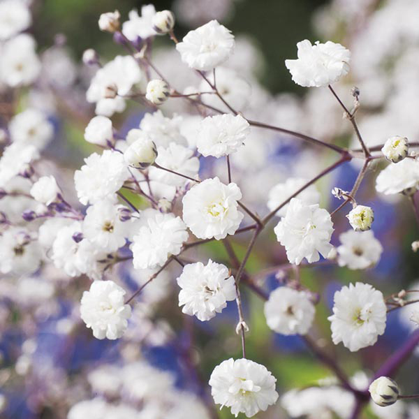 Gypsophila paniculata Snowflake Seeds from Mr Fothergill's ...Snowflake Ipo Date July