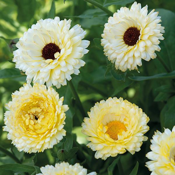 Wayne Marigold Princess Image: Calendula Snow Princess Seeds From Mr Fothergill's Seeds And Plants