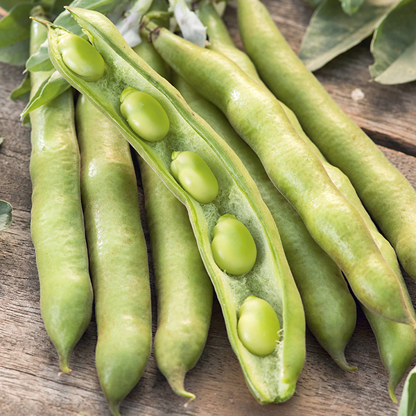 broad bean express sel eleonora organic seeds from mr