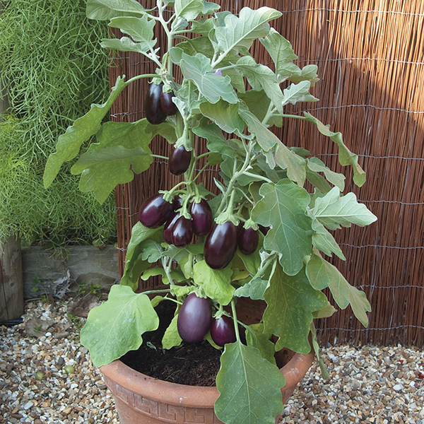 Aubergine pot black f1 seeds from mr fothergill 39 s seeds for Plants to grow in garden