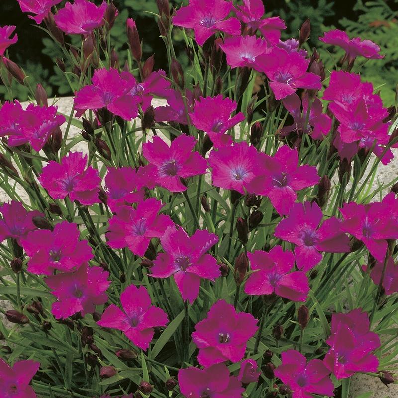 RHS Dianthus deltoides seeds from Mr Fothergills Seeds
