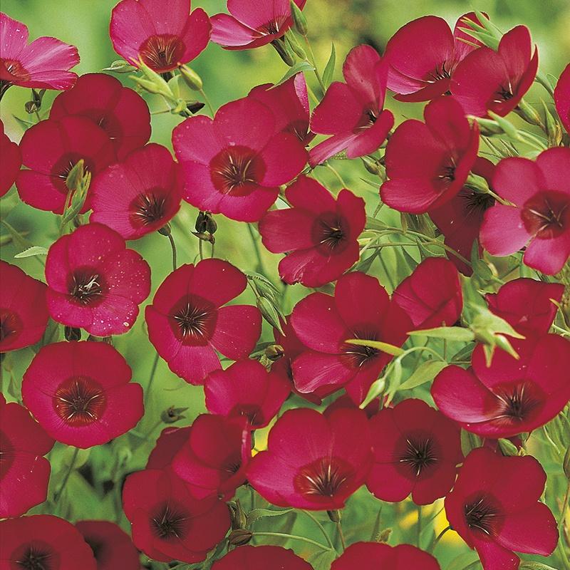 500 Semi Wallflower-Scarlet Emperor
