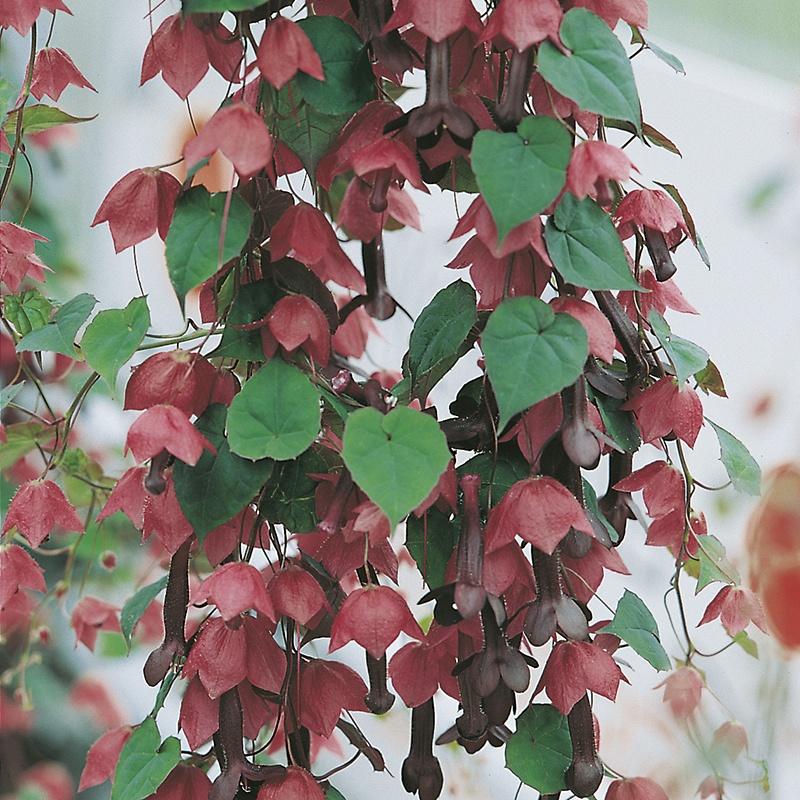 RHS Rhodochiton Purple Bell Vine Mr Fothergills 15 Seeds Flower