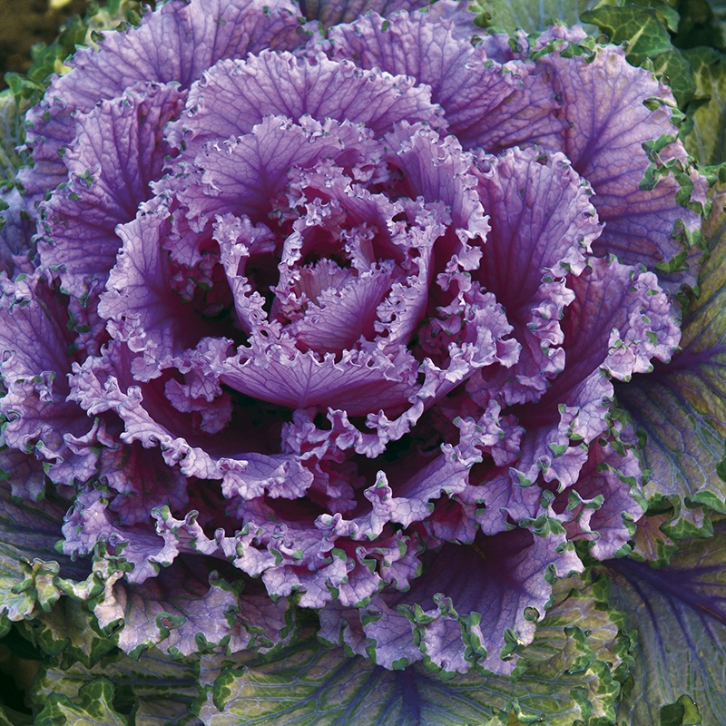 Kale Candy Floss From Mr Fothergills Seeds And Plants