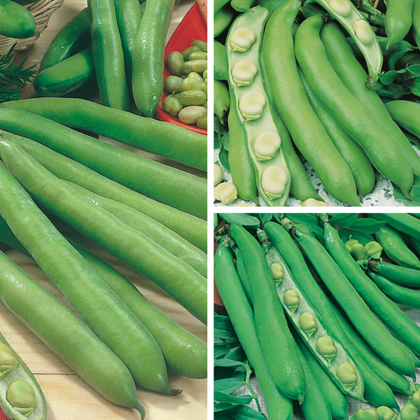 Broad Bean Season Long Cropping Seed Collection From Mr