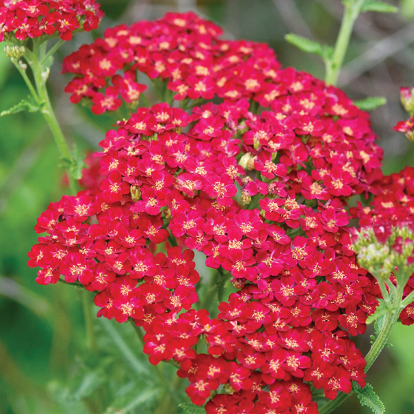 Achillea Red Velvet Plants From Mr Fothergill S Seeds And