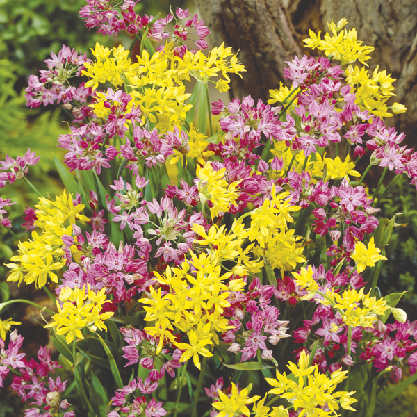 Allium Dwarf Bulb Mix From Mr Fothergill S Seeds And Plants