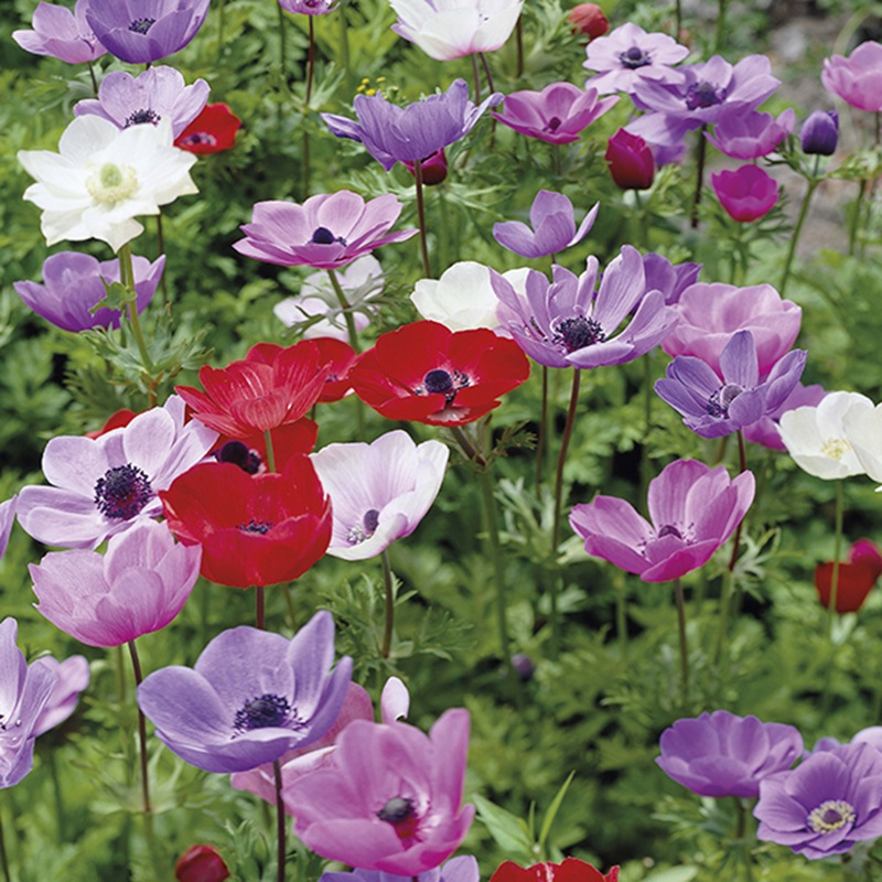 anemone coronaria de caen bulbs from mr fothergill 39 s seeds and plants. Black Bedroom Furniture Sets. Home Design Ideas