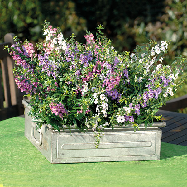 Angelonia Serena Mixed 20 Large Plug Plants From Mr