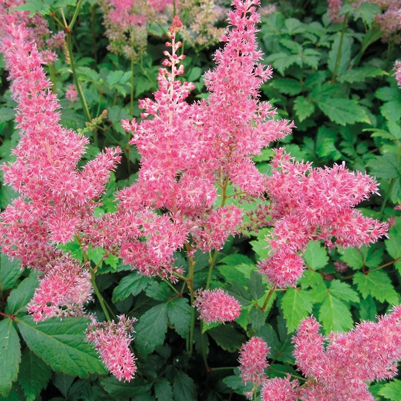 Mr Fothergills & Astilbe pink 1ltr Moisture and Shade Loving Plant