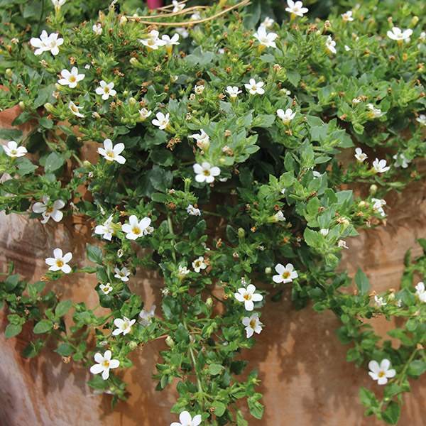 Bacopa -Sutera - per005 - A4Dibble Plants