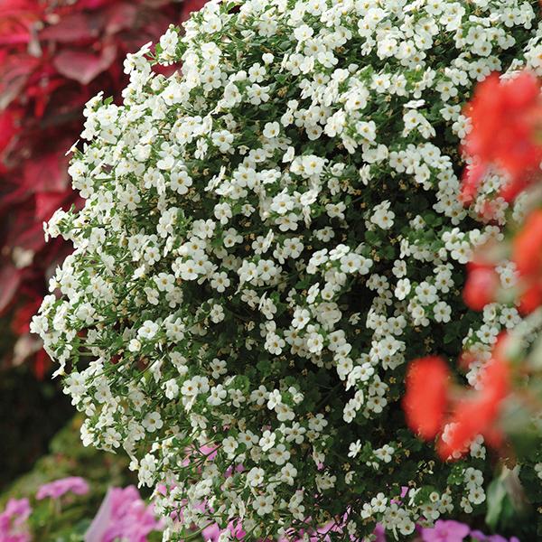 Bacopa Abunda Colossal White Plants From Mr Fothergills
