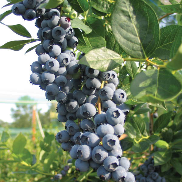 Blueberry Legacy Plant From Mr Fothergill S Seeds And Plants