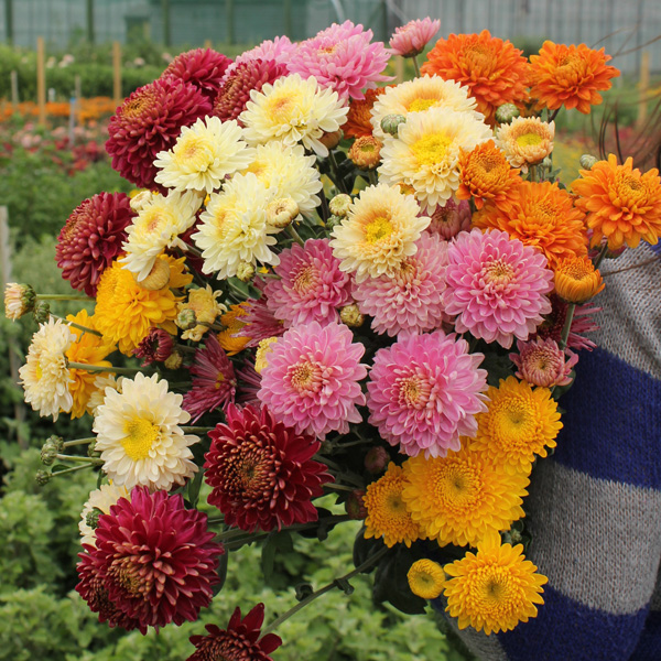 Chrysanthemum Pennine Jane Plant From Mr Fothergill S