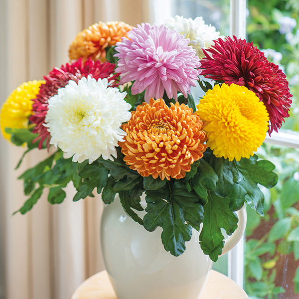 Chrysanthemum Outdoor Bloom Plant Collection From Mr