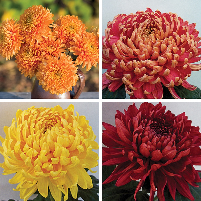 Chrysanthemum Christmas Bloom Plant Collection 4 Young