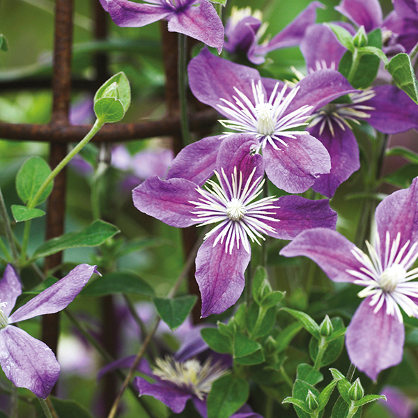 clematis arabella plant from mr fothergill 39 s. Black Bedroom Furniture Sets. Home Design Ideas