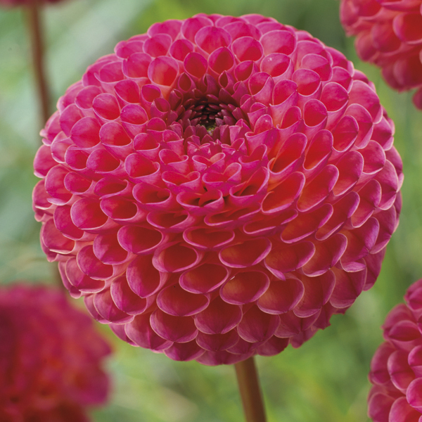 dahlia burlesca plant from mr fothergill s seeds and plants