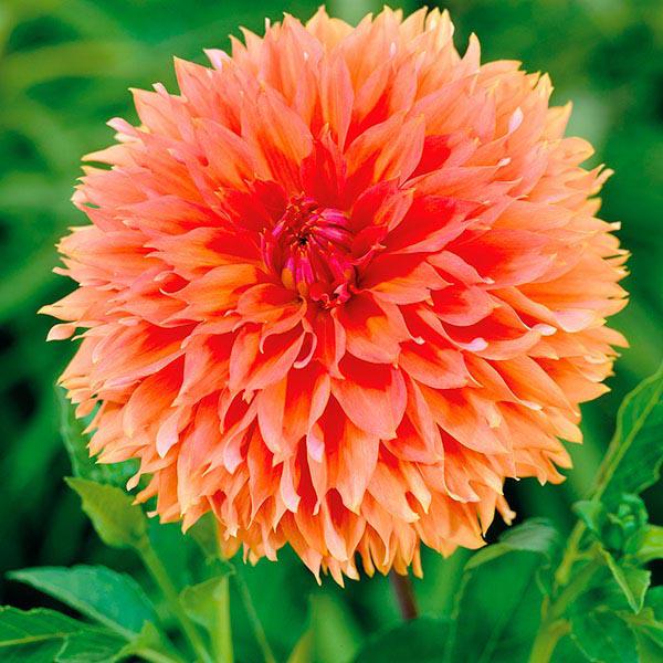 Dahlia Orange Fubuki Plant from Mr Fothergill's Seeds and ...