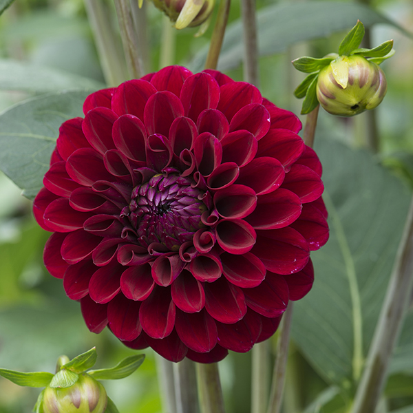 dahlia ball type maroon fox tubers from mr fothergill s seeds and