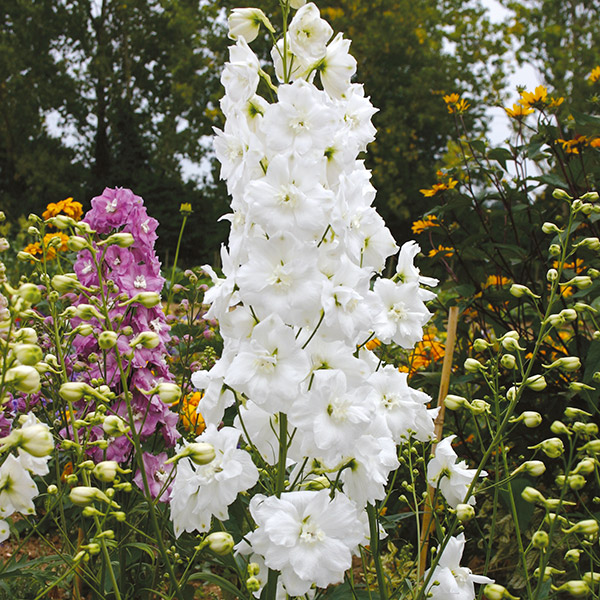 Delphinium Centurion White Plants From Mr Fothergills Seeds And Plants