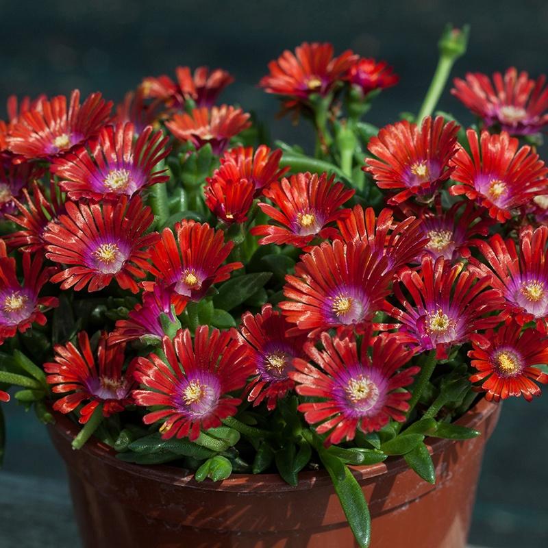 Delosperma Sundella Red Flower Plants