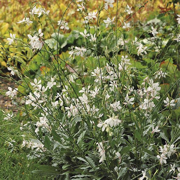 Gaura sparkle white plants from mr fothergills seeds and plants gaura sparkle white plants mightylinksfo