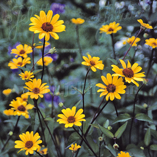 Heliopsis Summer Nights Plants from Mr Fothergill's Seeds ...