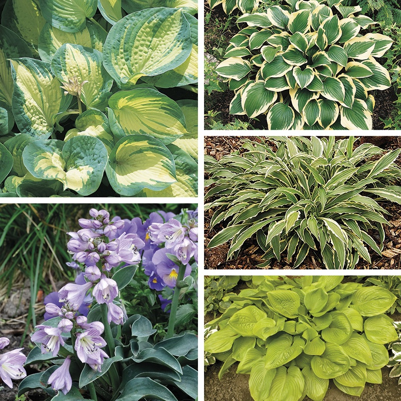 Hosta Collection From Mr Fothergills Seeds And Plants