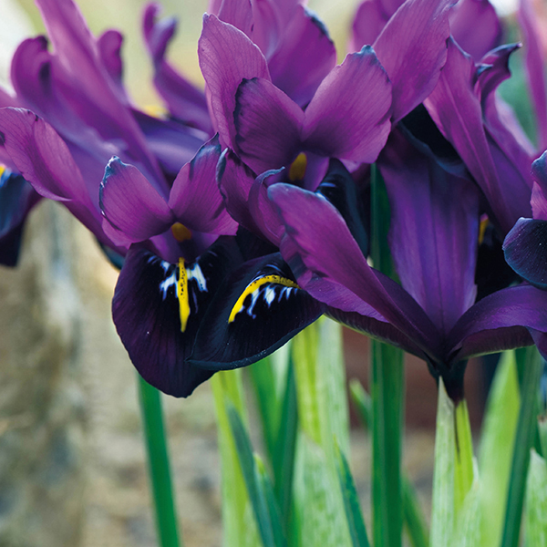 iris reticulata george bulbs from mr fothergill 39 s seeds. Black Bedroom Furniture Sets. Home Design Ideas