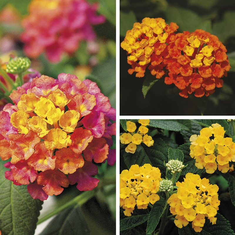 Lantana Calippo Plant Collection From Mr Fothergills Seeds And Plants
